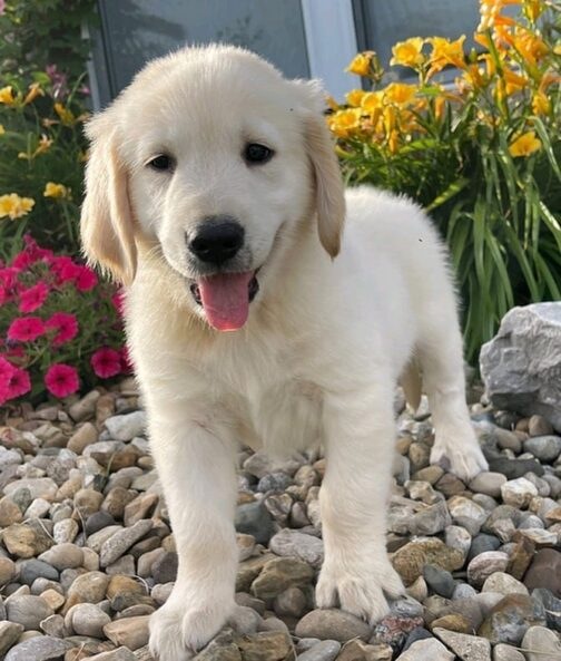 puppies for sale gold coast
